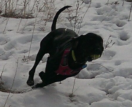 Dottie running full speed at Cherry Creek State Off leash park